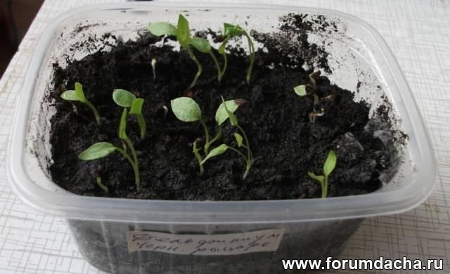 Как вырастить ромашку из семян в домашних условиях видео