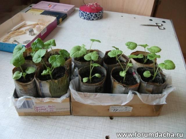 Как вырастить рассаду пеларгонии