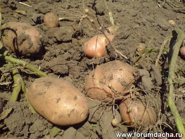 Где купить семенной картофель, семянная картошка купить, купить семенной картофель, семянная картошка, семенной картофель, Продажа семенного картофеля