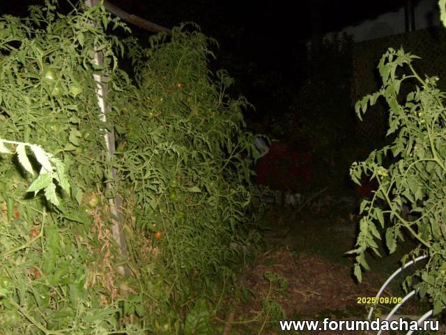 Шпалера помидор