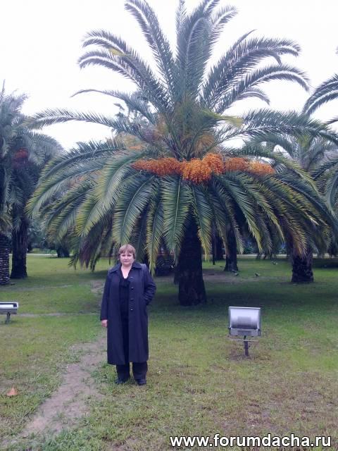 Пальмы в г.Сочи