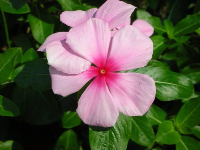 катарантус розовый, барвинок розовый, Catharanthus roseus