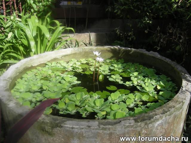 Как сажать водяную лилию дома 40