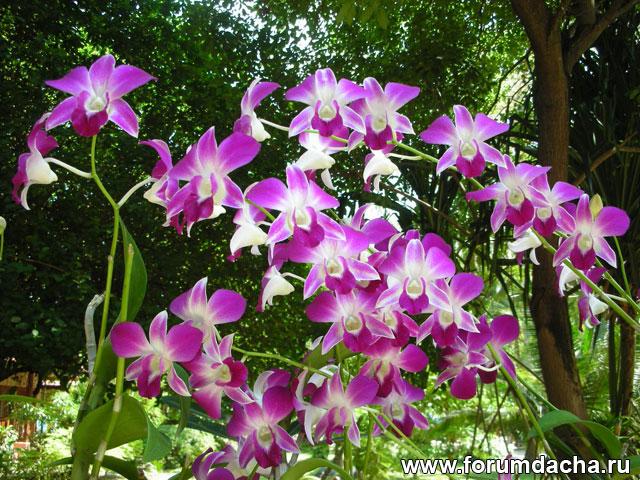 Dendrobium Sonia, Dendrobium Sonia фото