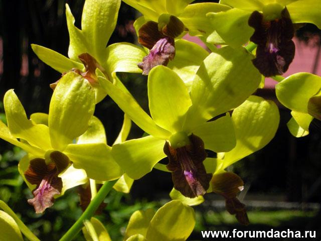 Dendrobium Emma «Gold»