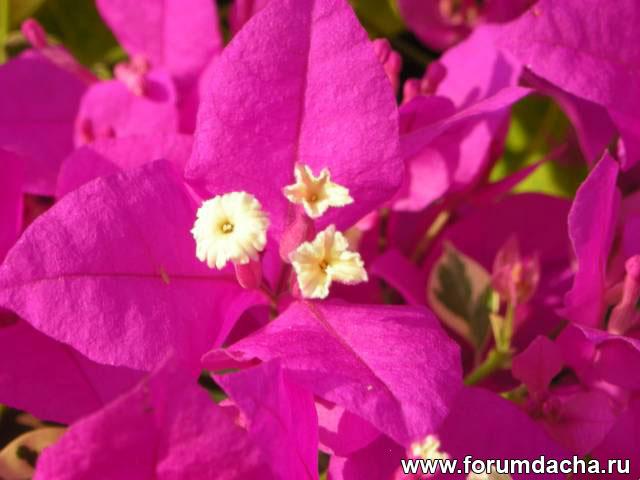 бугенвиллия фото, бугенвиллия в картинках, Bougainvillea