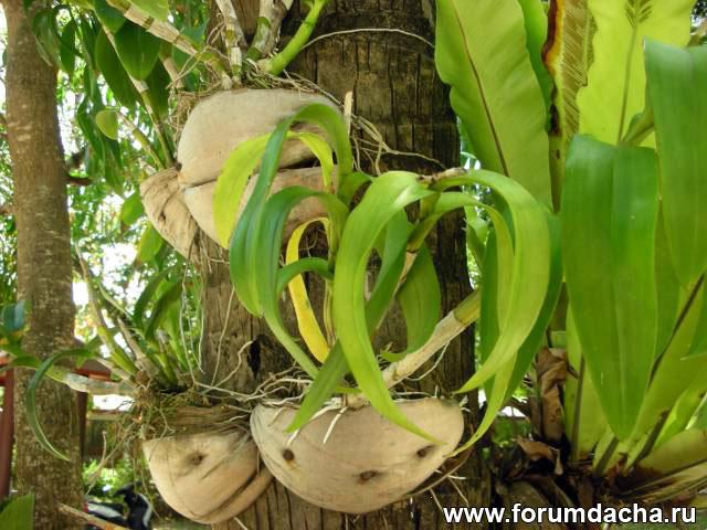 орхидеи на дереве, орхидеи в кокосе, орхидеи растут