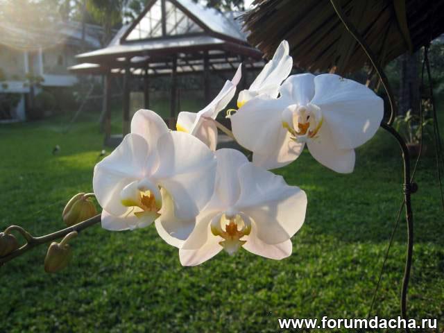 фаленопсис, орхидея фаленопсис, фаленопсис фото, фото фаленопсиса, белый фаленопсис