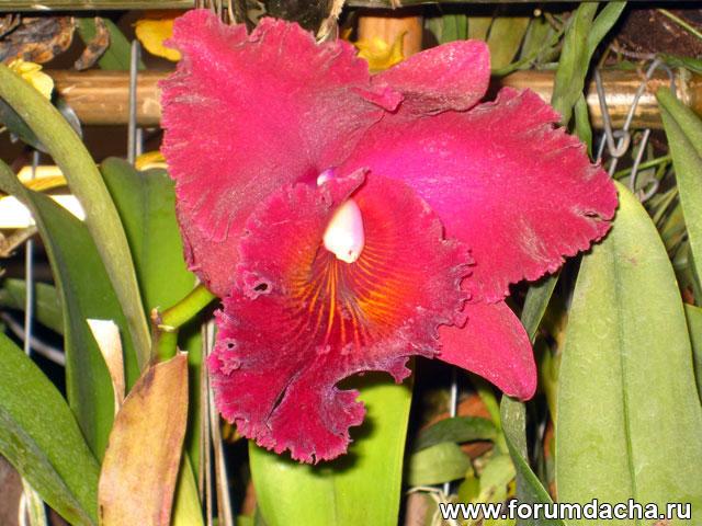 Каттлея, Каттлея фото, Каттлея в картинках, орхидея Каттлея, Каттлея в тайланде