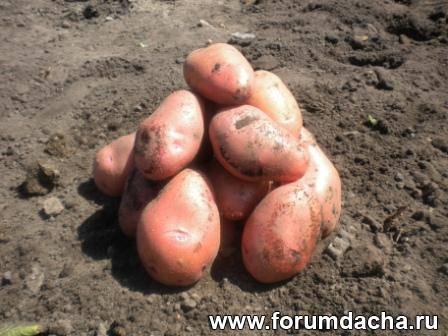 мини клубни картофеля