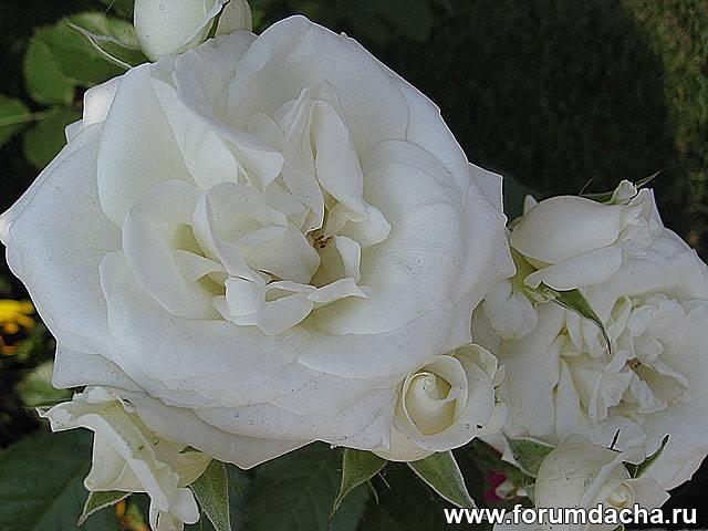 Фото роз, Розы фото