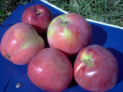 Юбилейное биофака, сорт яблони Юбилейное биофака