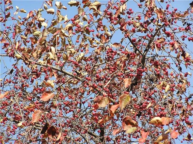 краснолистная яблоня подвой