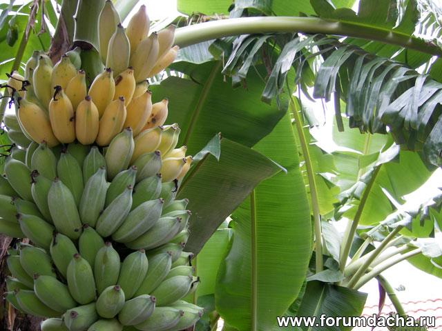 бананы, банан, бананы фото