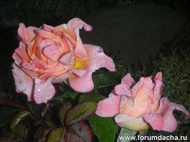Кружевные розы, Кружевная роза, розы флорибунды, Флорибунда, Роза Флорибунда