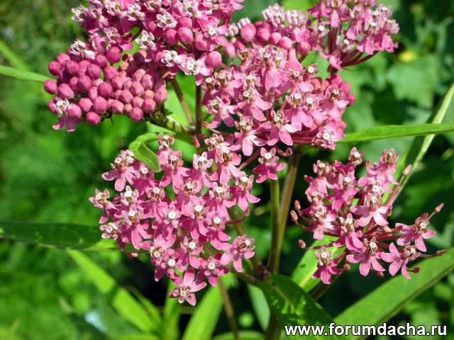 Ваточник, Ваточник посев, Ваточник выращивание, Ваточник цветение, Ваточник уход