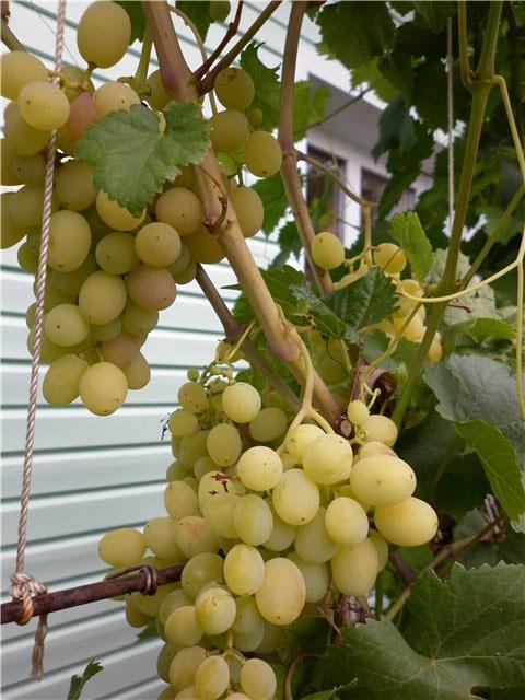 Сорт винограда Краса Дона, Краса Дона