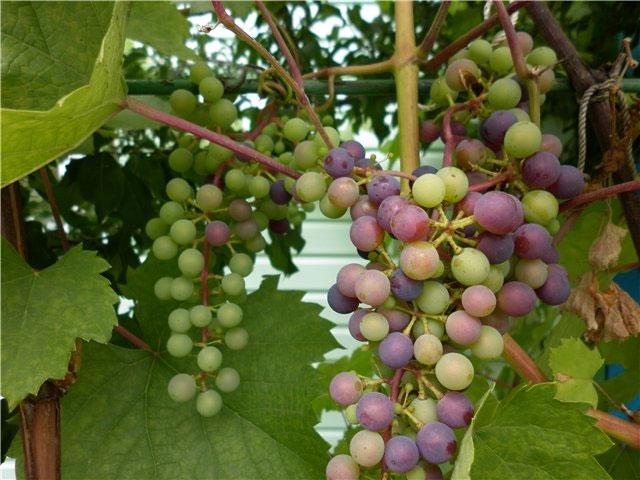 Северный Плечистик, Виноград Северный Плечистик, Сорт винограда Северный Плечистик