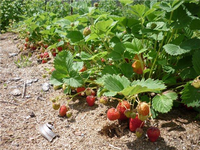 Земляника по Природному земледелию