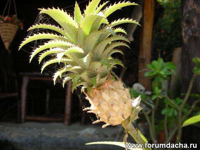 Мини ананас, Мини-ананас