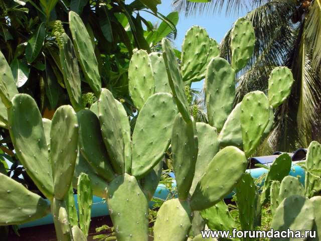 кактус, тропический кактус, кактус в Тайланде, высокий кактус