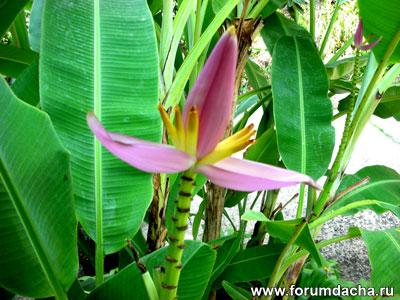 Цветение банана, банан цветет, цветок банана