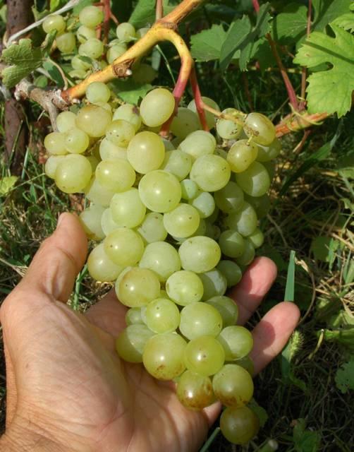 Вика белая, Сорт винограда Вика белая, Виноград Вика белая