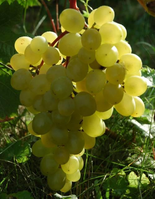Сорт винограда Подарок Саратова, Подарок Саратова