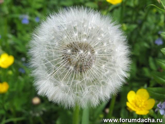 Одуванчик после цветения