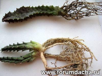 Купить кактусы