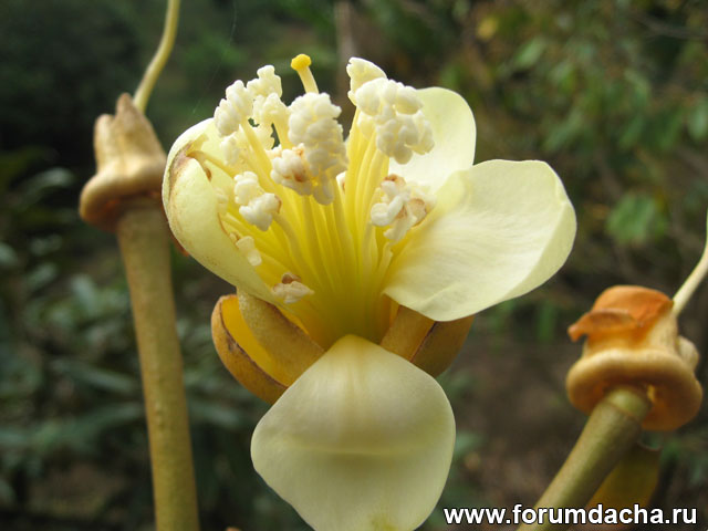 цветок дуриана