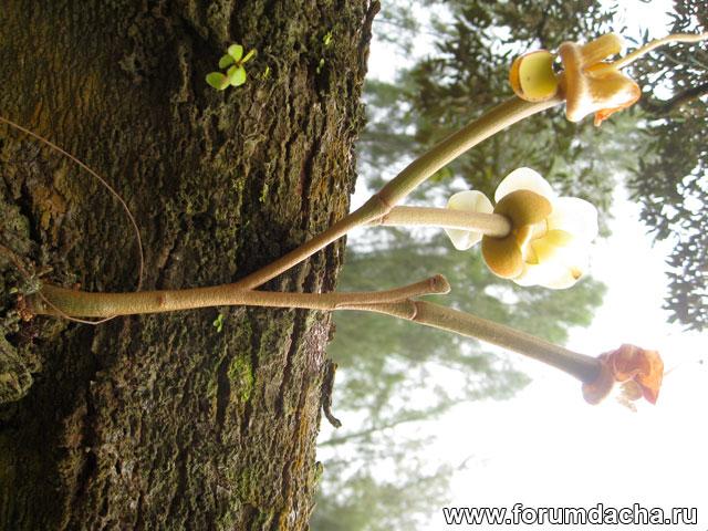 дерево дуриана, растение дуриан