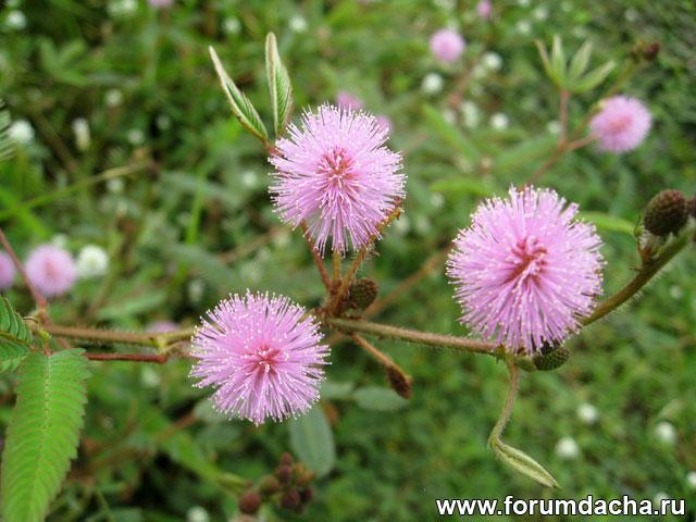 Стыдливая мимоза, Mimosa pudica