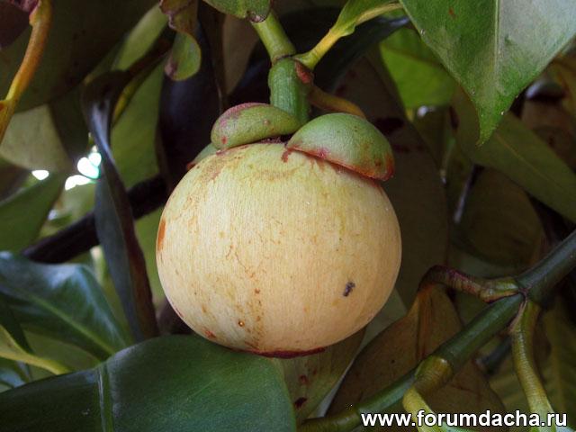 мангостин фото, растение мангостин, мангостин в картинках