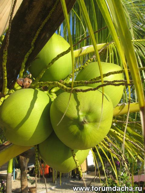 кокос на пальме