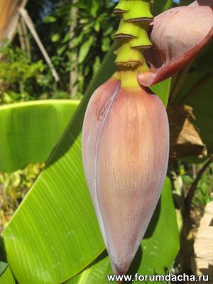 Банан в комнате, выращивание банана, посадить банан