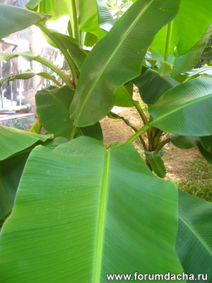 листья банана, декоративный банан