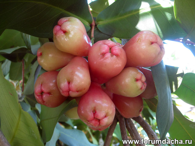 Розовое яблоко, Яванское яблоко, Syzygium samarangense