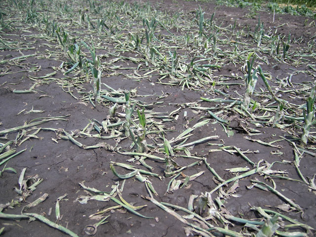 погиб урожай от града