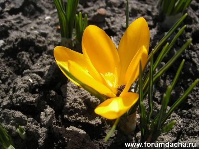 Крокус желтый