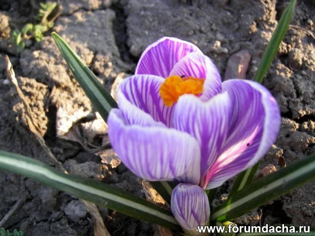 Крокус весеннецветущий