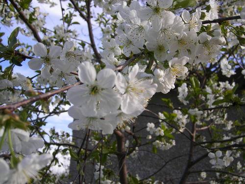 цветущая вишня, вишня цветет, цветки вишни