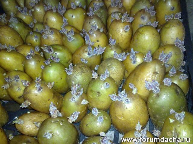 Семенной картофель, Обработка семенного картофеля, Обработка картофеля перед посадкой, Проращивание картофеля, Проращивание картошки