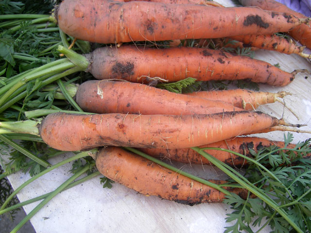 морковь, морковь фото
