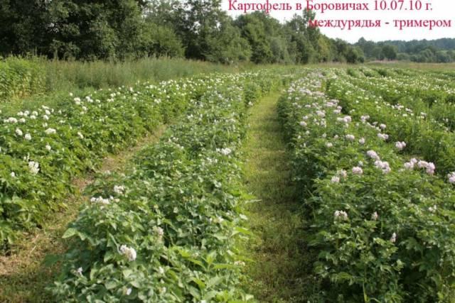 Картофель в Боровичах