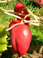Подофиллум Эмоди, Подофил, Podophyllum emodii, Подофил Эмоди