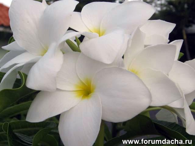 """Plumeria pudica """"Bridal Bouquet"""", Plumeria pudica"""