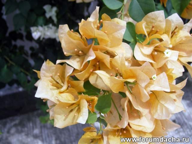 желтая бугенвиллия