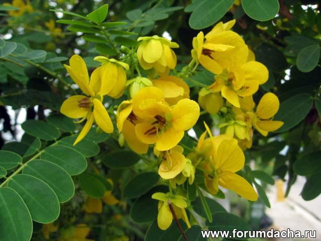 Акация желтая, Cassia glauca