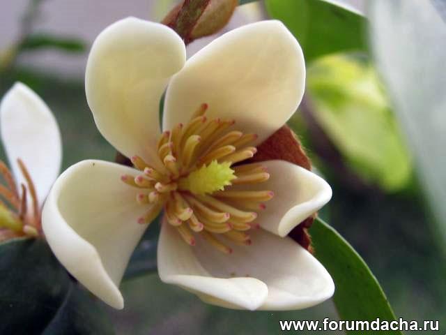 Magnolia figo, карликовая магнолия, Michelia figo, Magnolia fuscata, Michelia figo, Michelia fuscata, Liriodendron figo